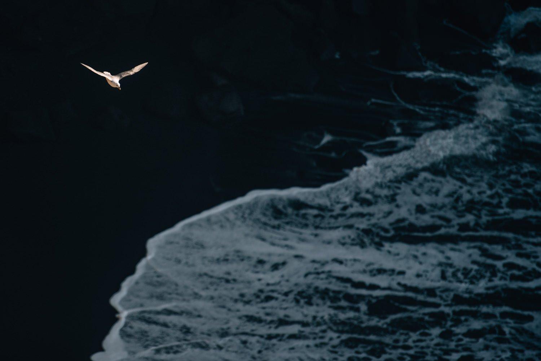 Bird flying above beach in Vik Iceland